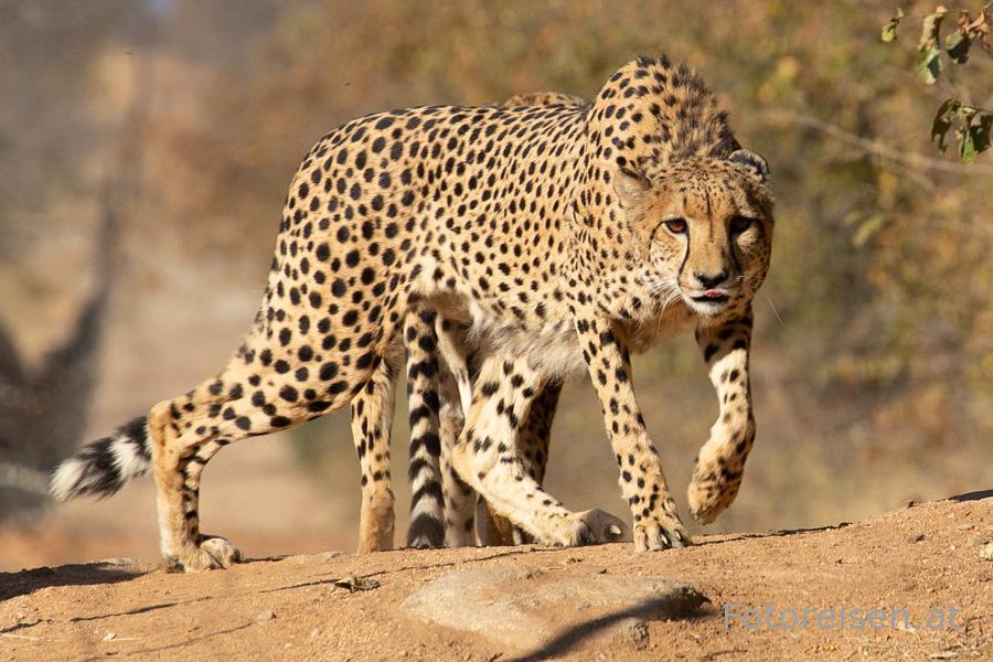 Gepard in Südafrika